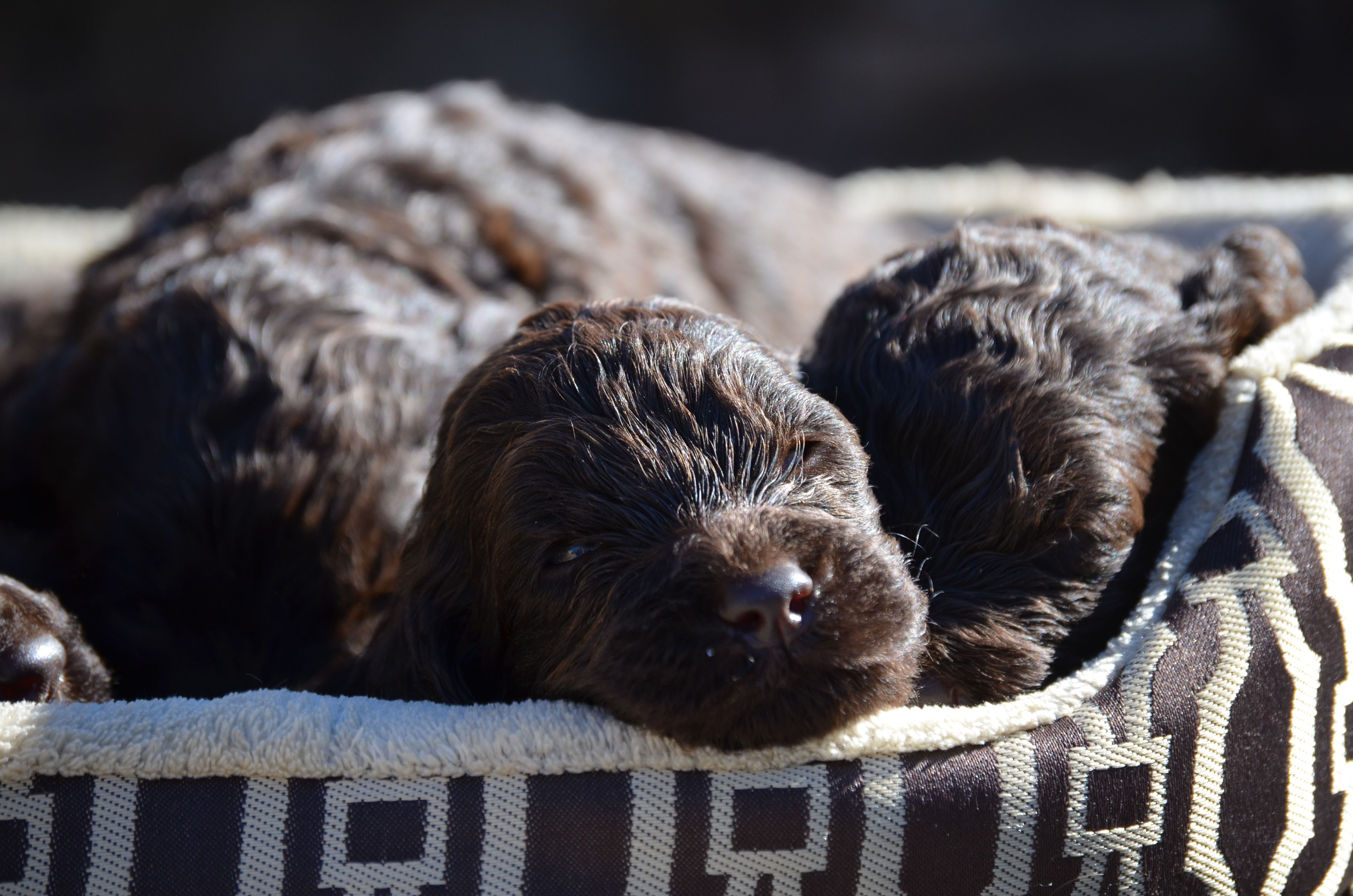 Gorgeous Newfypoo puppies up for adoption! #newfiedoodle