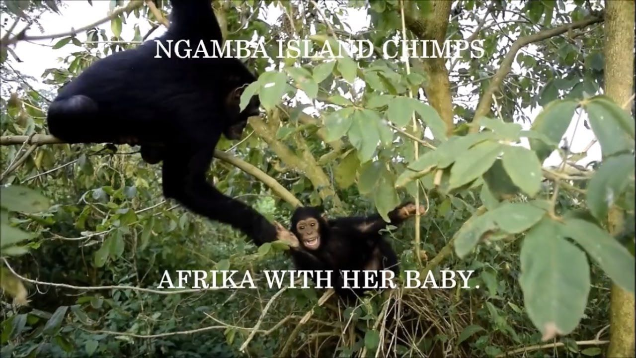 Baby chimp and mother
