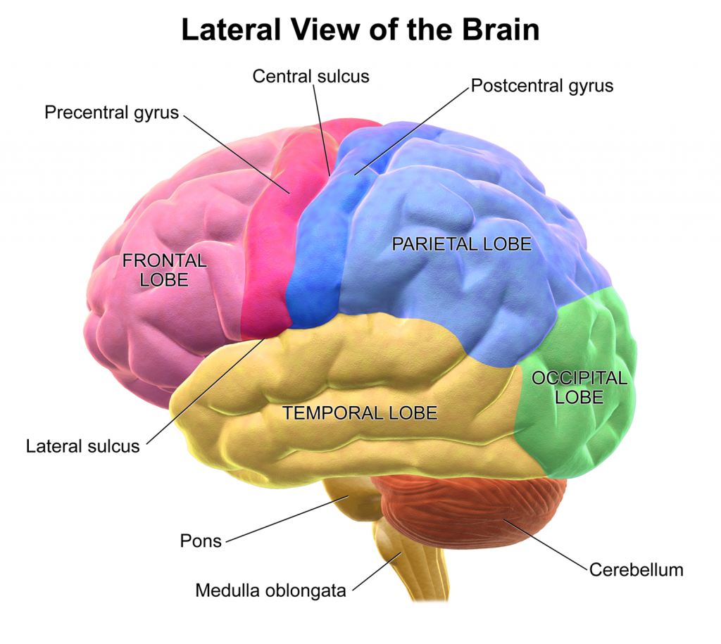 Lateral View Of The Human Brain Google Search The Brain