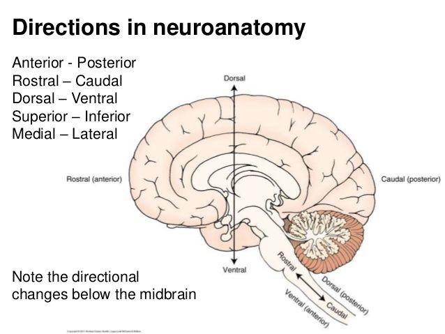 Rostral Ventral Dorsal Brainstem Google Search Neuroanatomy