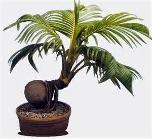 Bonsai Coconut Tree Bing Images Bonsai Bonsai Bonsai