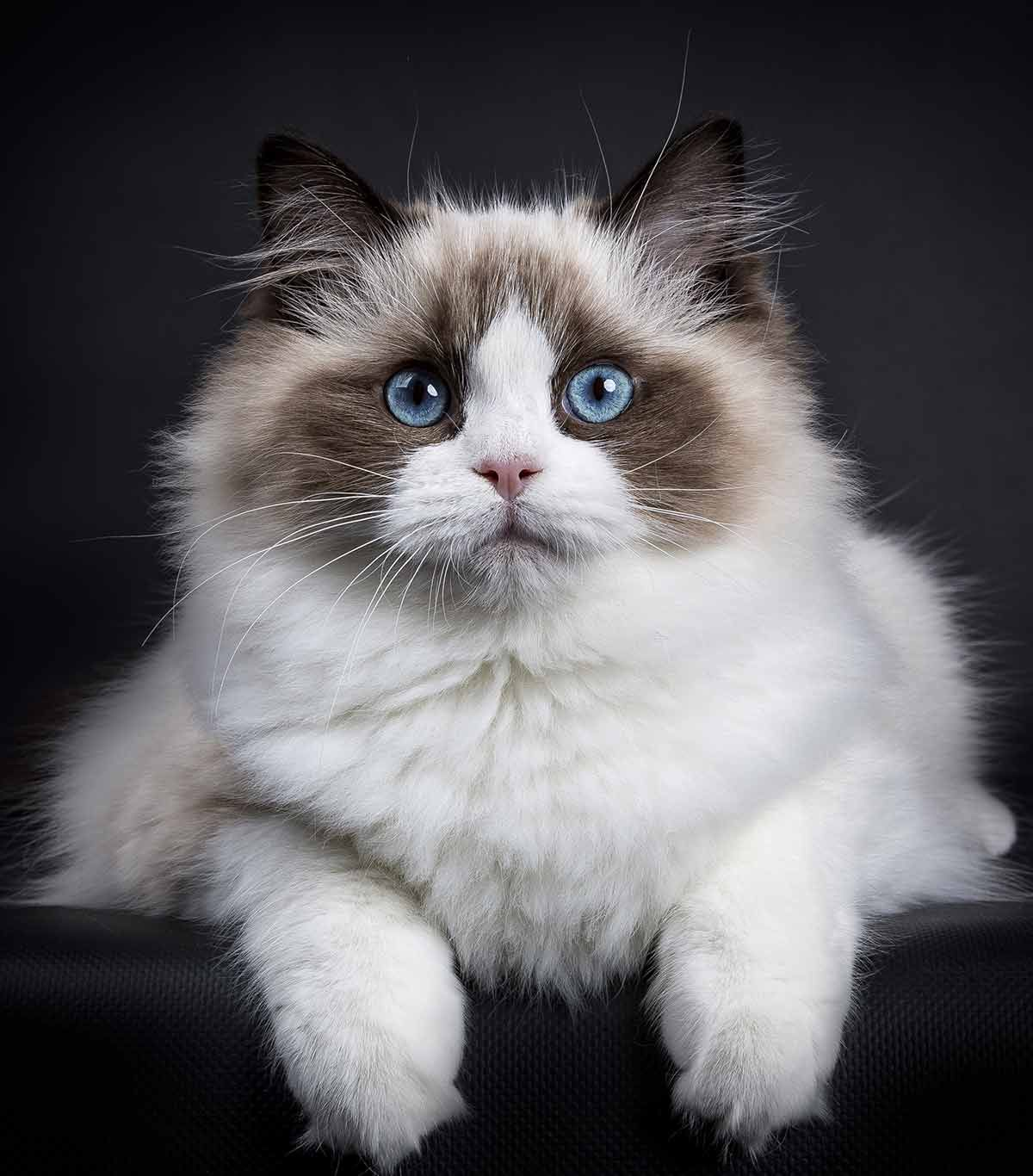 Best Food For Ragdoll Cats The Brands Breeders