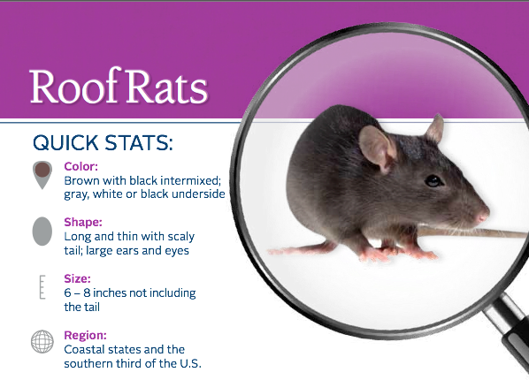 Rodents All About Roof Rats Roof Rats Termite Control