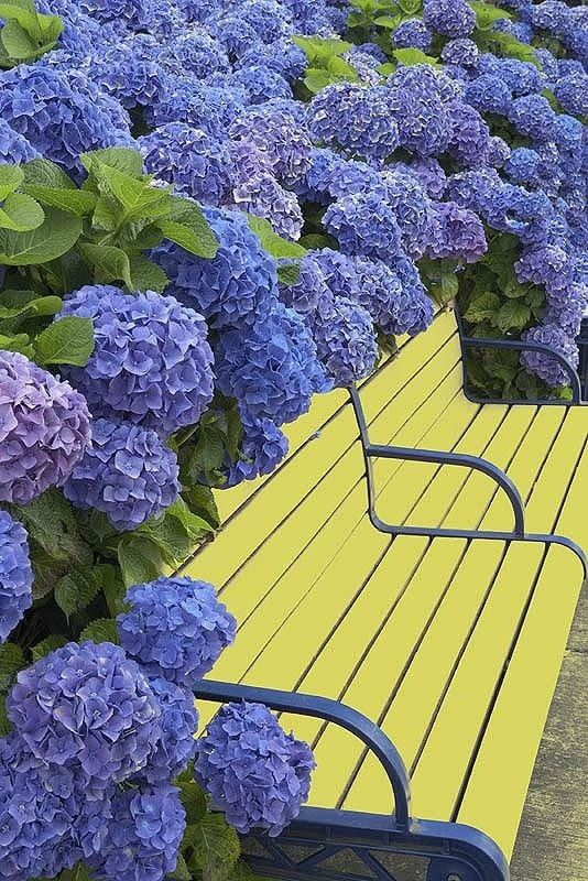 Blue hydrangeas with yellow and blue bench. Looks so inviting!