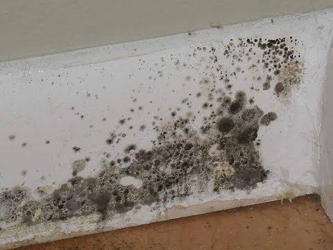 Toxic Black Mold Stachybotrys Extremely Dangerous To Humans