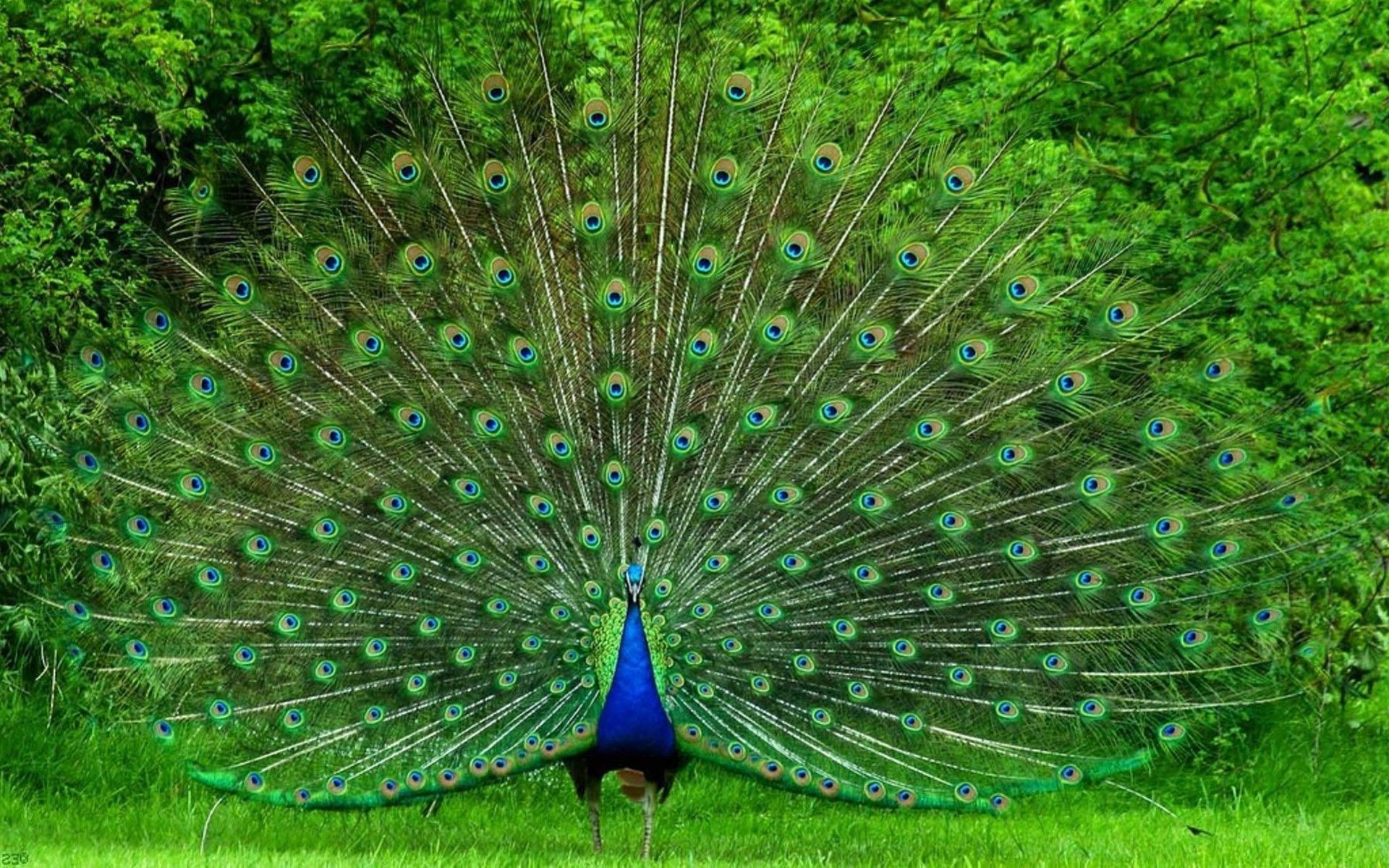 beautiful pictures of peacocks | pinterest | peacocks, bird and animal