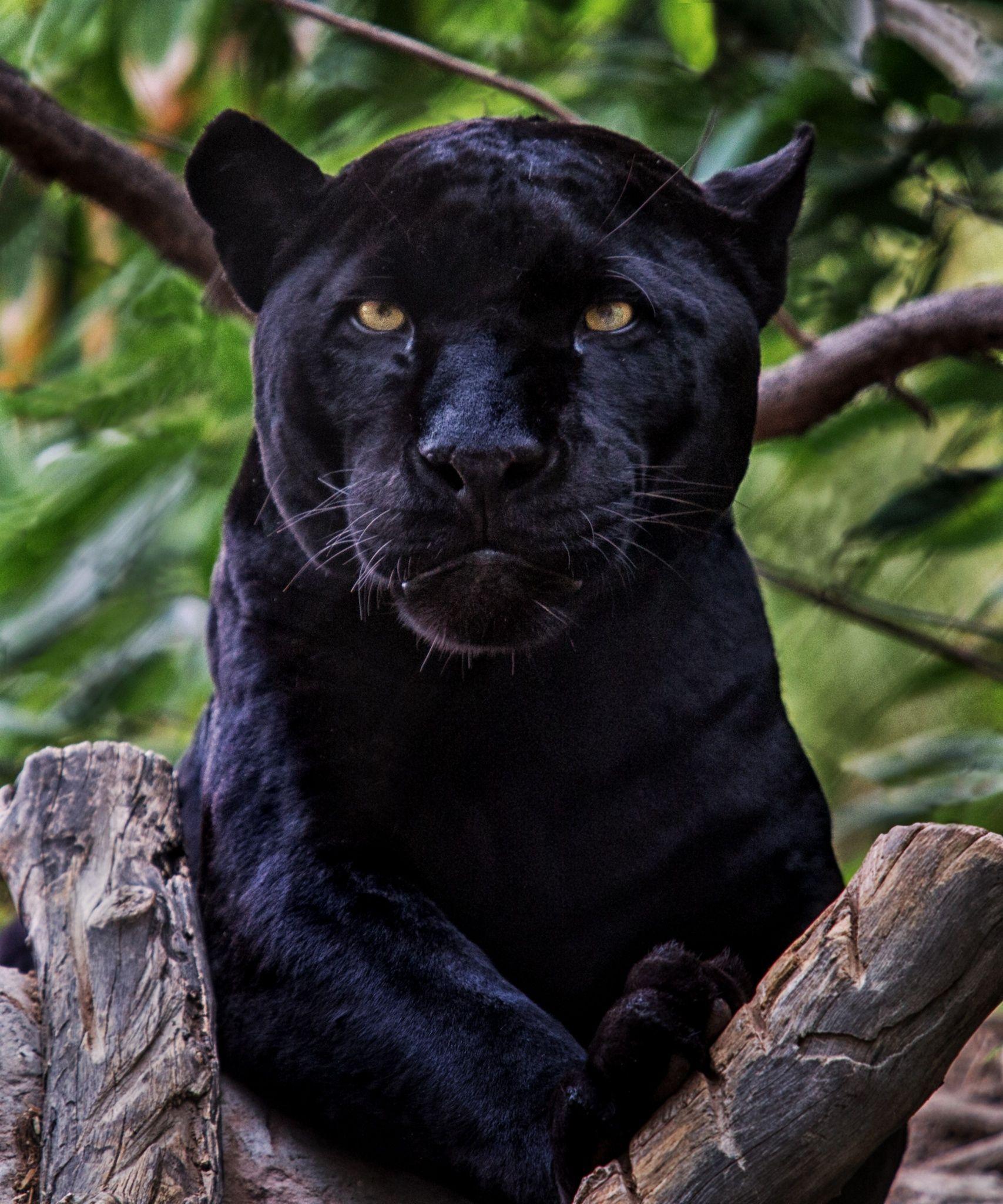 Black Jaguar Growling: Black Jaguar - Female Black Jaguar In A Tree.