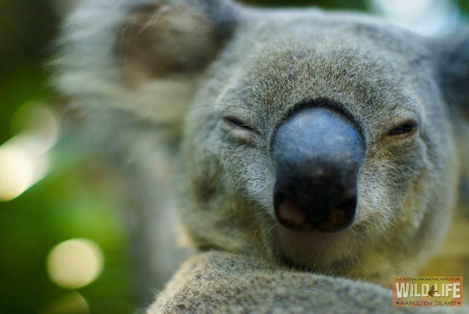 (VERY) Happy Koala