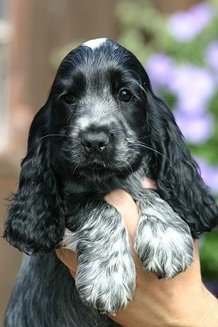 This Blue Roan Cocker Spaniel Puppy Looks Very Much My Childhood Dog And Best Friend Spotty Dog Breeds Cocker Spaniel Puppies Dogs