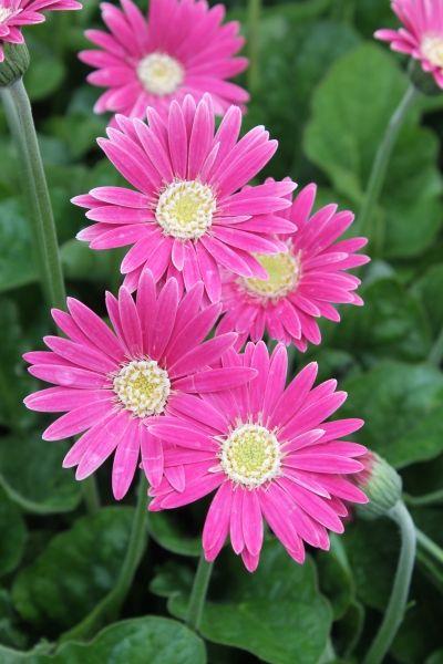 Gerbera Drakensberg Carmine Summer Flowers To Plant Plants With Pink Flowers Flowers Perennials
