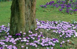 Crocuses Under Deciduous Trees.