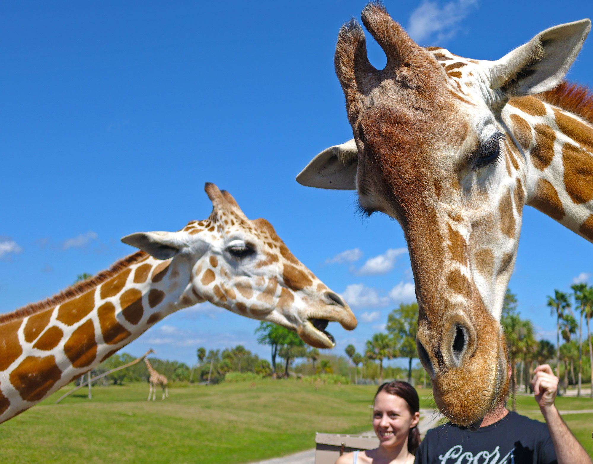 5e9671f25d6fedbf709ed0ede83055d6 - Is The Safari Included In Busch Gardens