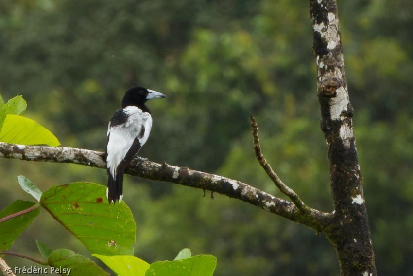 Hooded Butcherbird (Cracticus cassicus) A bird perched