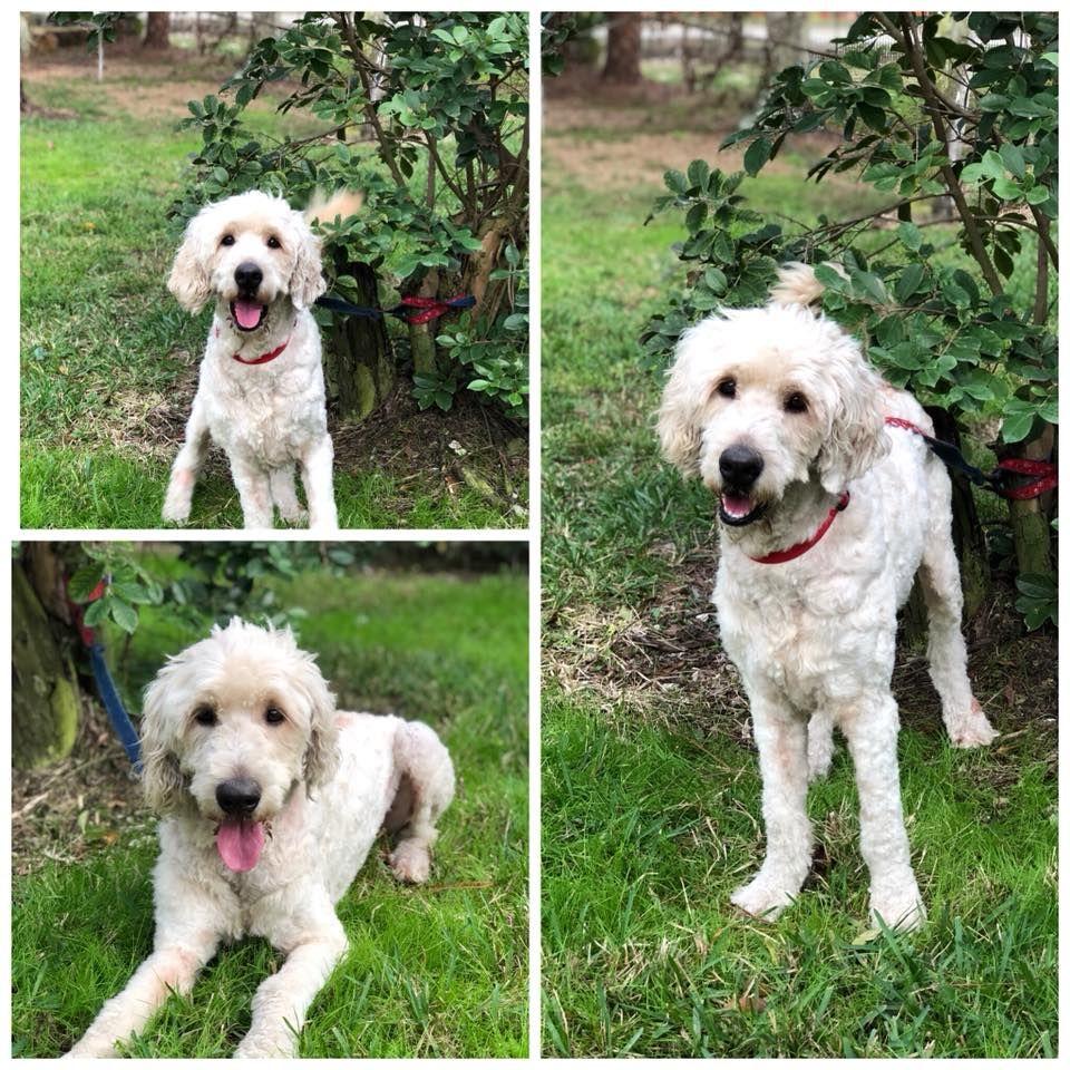 Goldendoodle dog for Adoption in Naples, FL. ADN773000 on