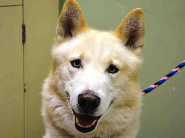 SAFE --- Manhattan Center   TUTANKHAMUN aka TUT - A1022863  MALE, WHITE / TAN, SIBERIAN HUSKY MIX, 2 yrs STRAY - STRAY WAIT, NO HOLD Reason STRAY  Intake condition EXAM REQ Intake Date 12/11/2014, From NY 10003, DueOut Date 12/14/2014,  https://www.facebook.com/Urgentdeathrowdogs/photos/pb.152876678058553.-2207520000.1418334295./920226681323545/?type=3&theater