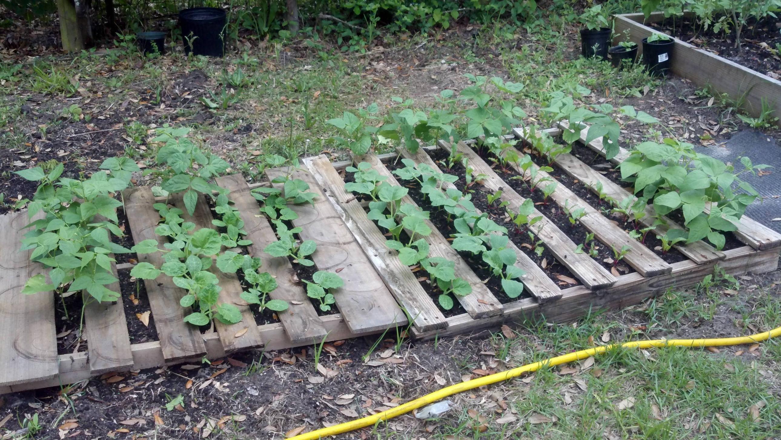 Pallet garden is doing well