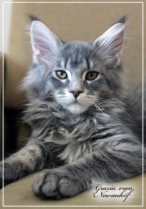 Maine coon blue ticked tabby