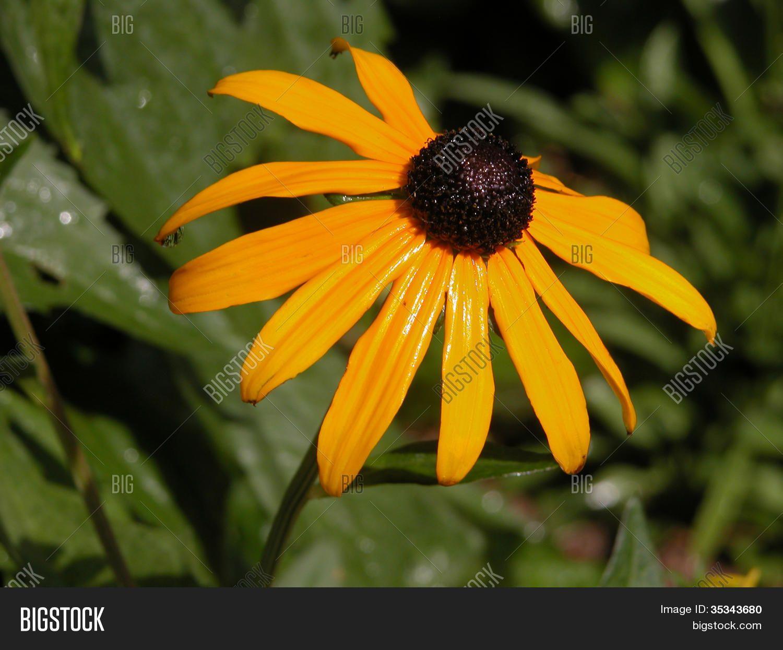 Maryland State Flowerjpg Maryland State Symbols 7 Tags Brown Brown