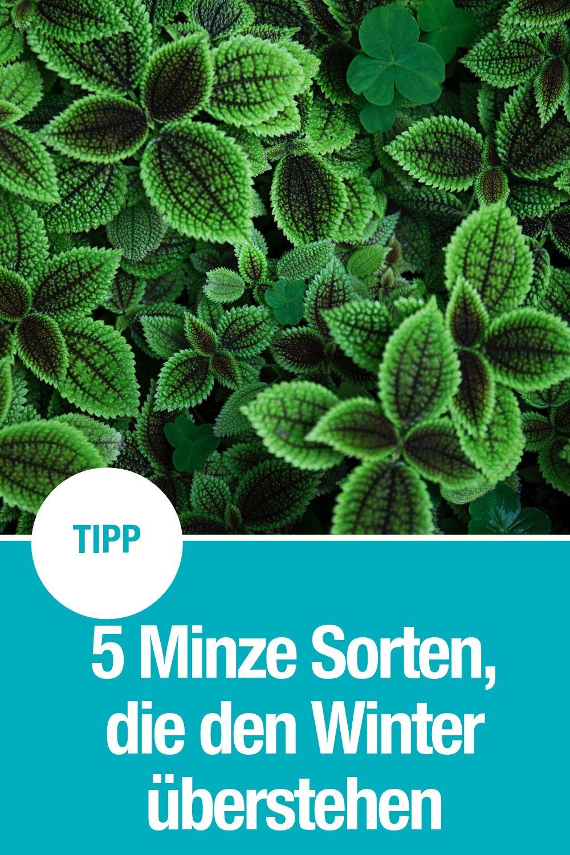 5 Minze Sorten winterhart