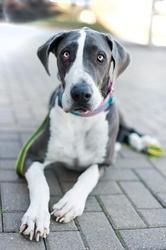 Roxy Is An Adoptable Great Dane Dog In Huntersville Nc Courtesy