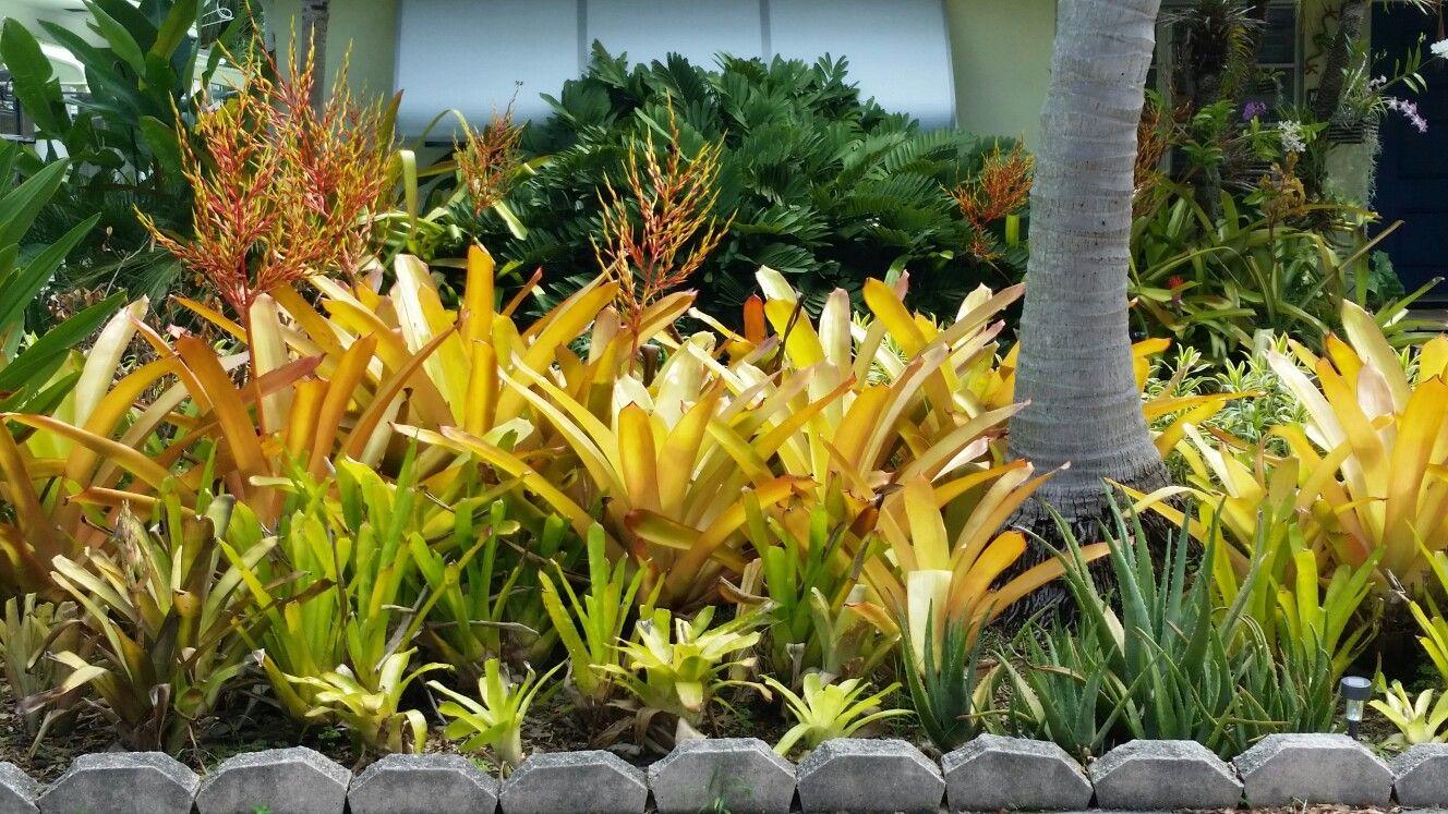 Bromeliads Aechmea Blanchetiana Lake Worth Florida Bromeliads Plants Lake Worth