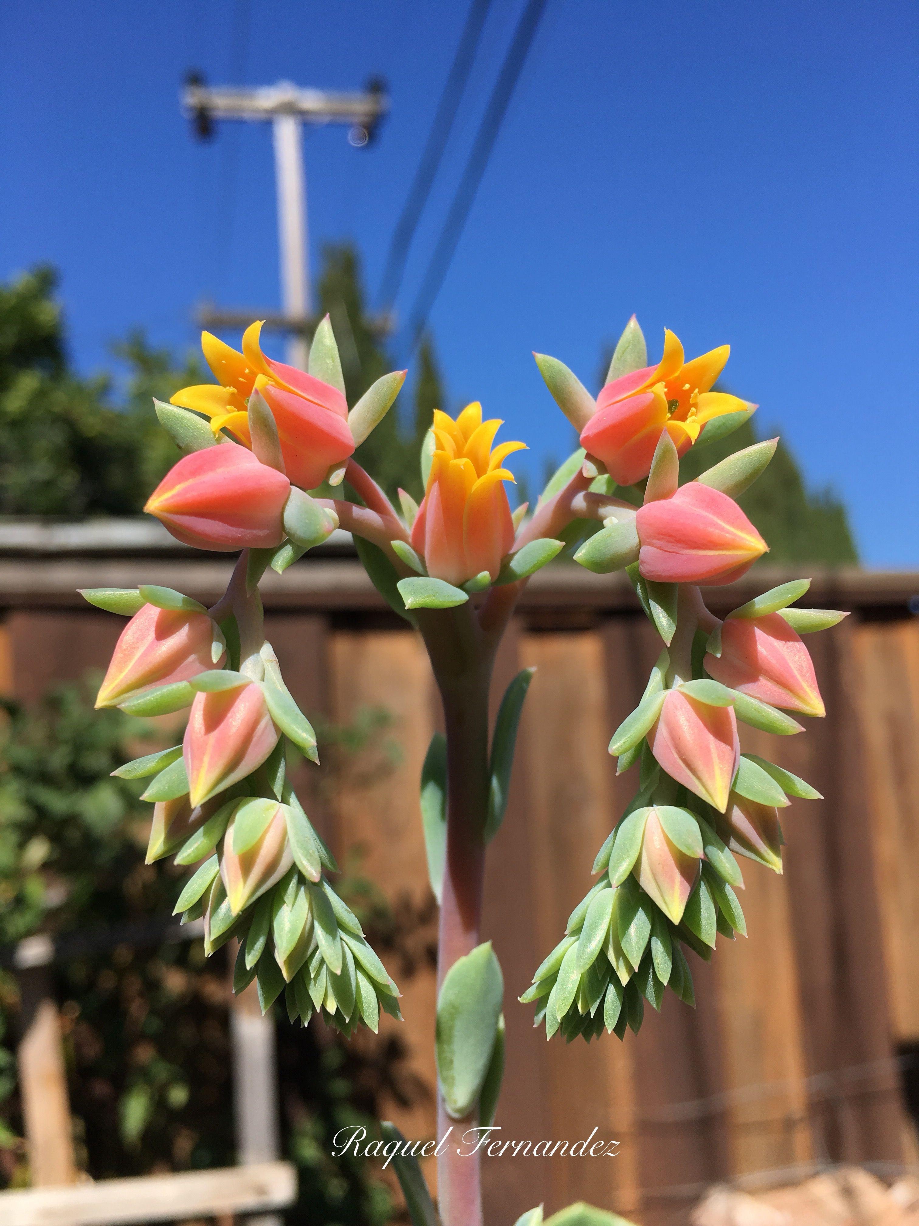 Flor de echeveria