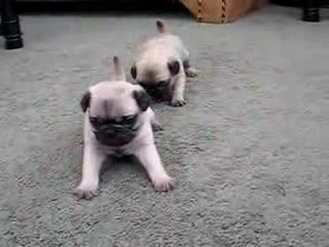 I M In Love With Pug Puppies Right Now So Adorable Old Pug