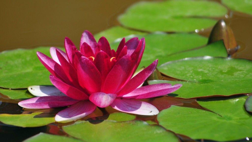 Large Lotus Flower Screensaver Gardening Flower And Vegetables