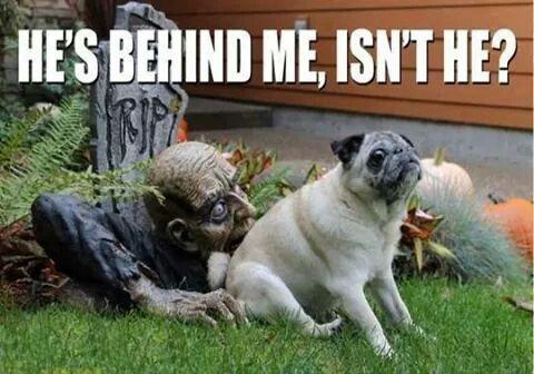 Halloween pug