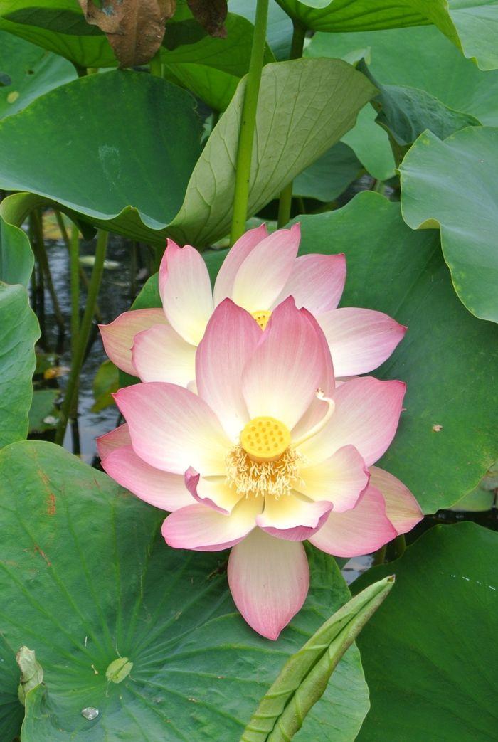 Beautiful Blooming Pink Lotus Flowers In Echo Park Los Angeles