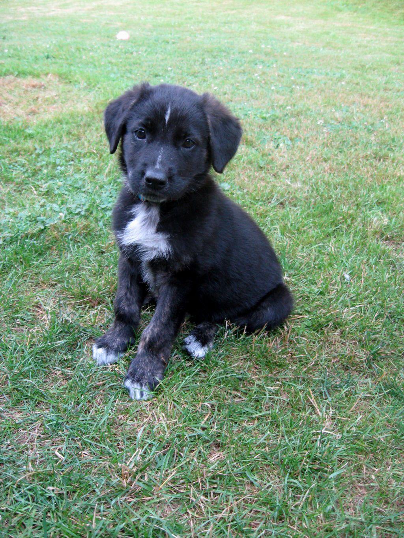 Labrador Mix Puppies For Sale Near Me : labrador, puppies, Shepherd, Puppies, German, Puppies,, Puppy