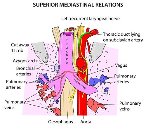 Instant Anatomy Thorax Respiratory