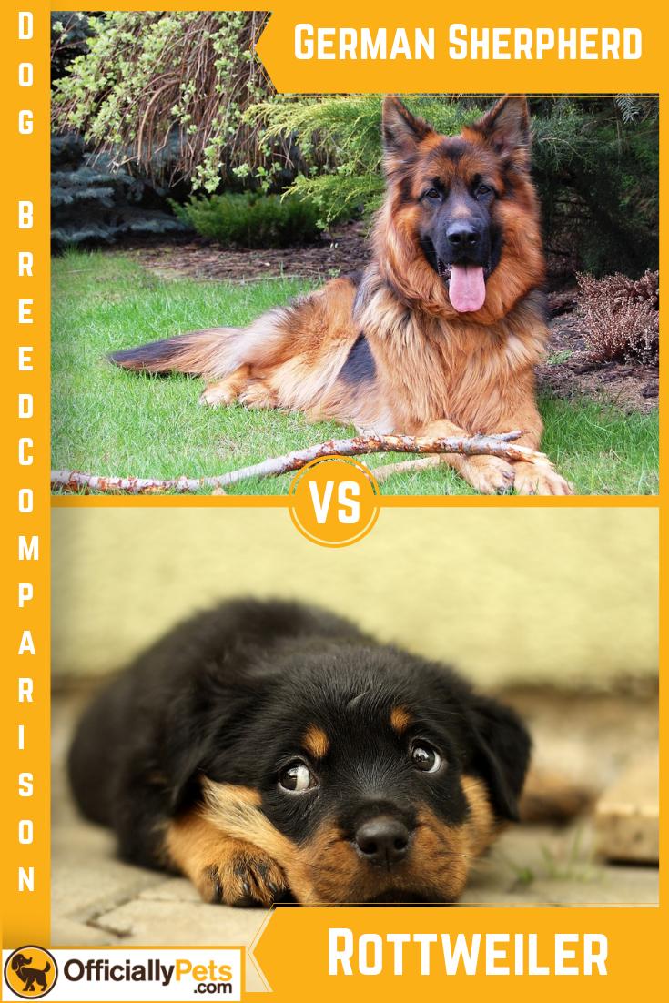 German Shepherd vs Rottweiler - Similarities and ...
