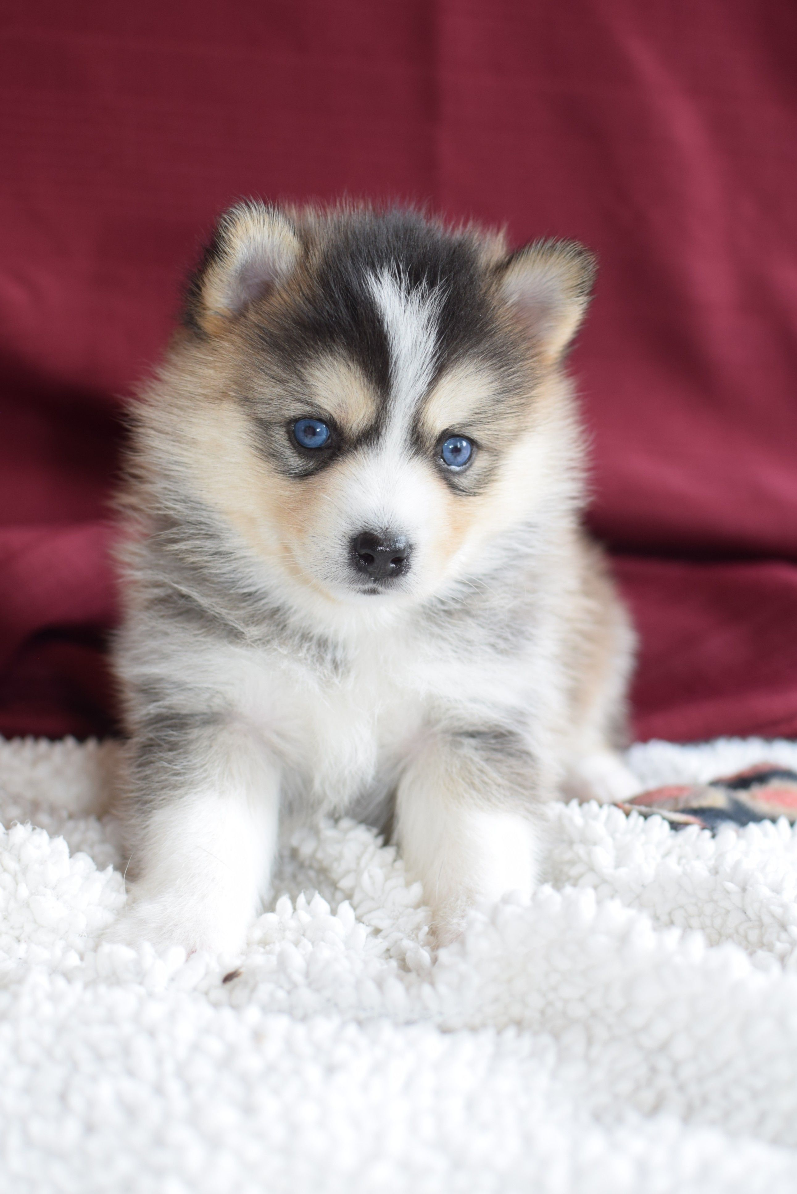 Pomsky Puppies For Sale Pomsky Puppies Pomsky Dog Puppies