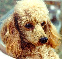 London Hills Toy Miniature Poodle Breeder Puppies For Sale
