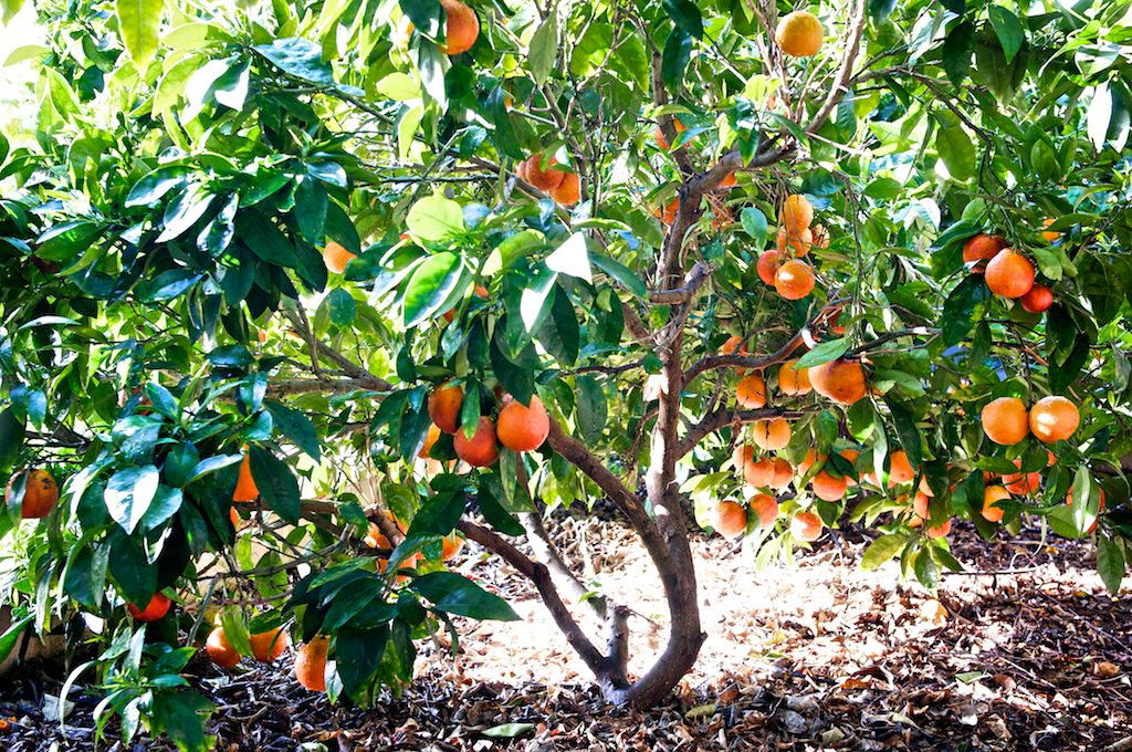 Wonderful Fruit Tree Nursery Southern California Part - 6: Fruit Trees · This Is Why We Love Late Winter/early Spring In Southern  Californiau2014u2013u003e