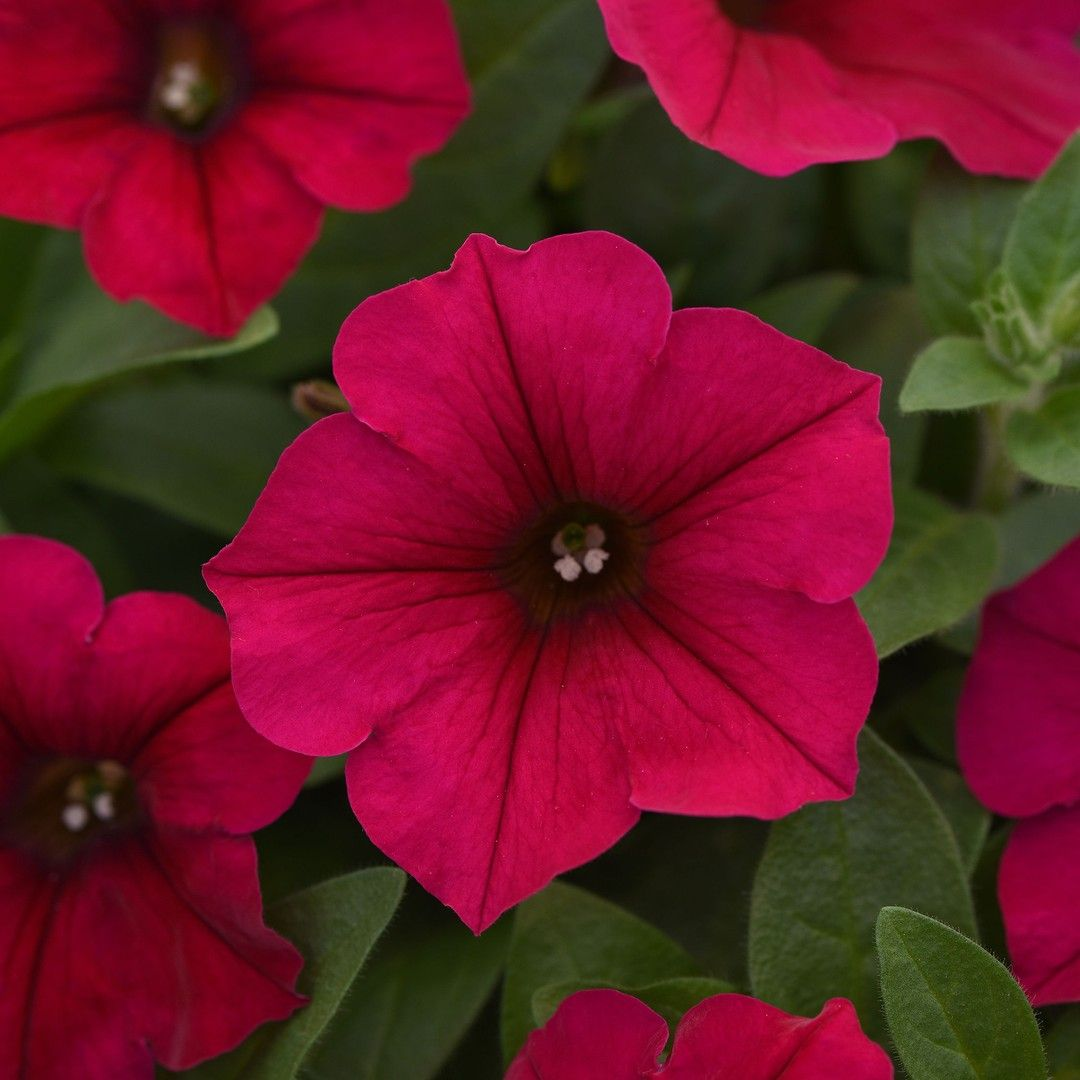 Nationalgarden Posted To Instagram A Must For Many Gardens New 2019 Aas Winner Petunia Wave Carmine Velour F1 Large 2 2 Flower Garden Design Petunia Flower Petunias