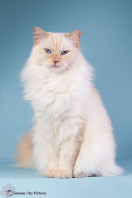 Een Foto Van Mijn Cream Point Ragdoll Famous In De Studio Ragdoll Kitten Ragdoll Cat Cat Colors