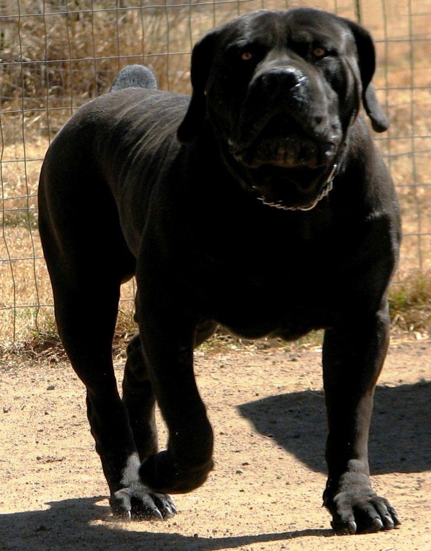 Popular Boerboel Black Adorable Dog - 5e9d81e0f61a48f7e9d311250edc980c  You Should Have_314290  .jpg