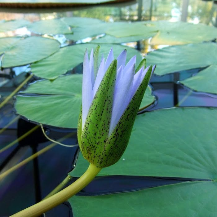 Blue Egyptian Lotus Nymphaea C Fragrant Lotus Flower Also
