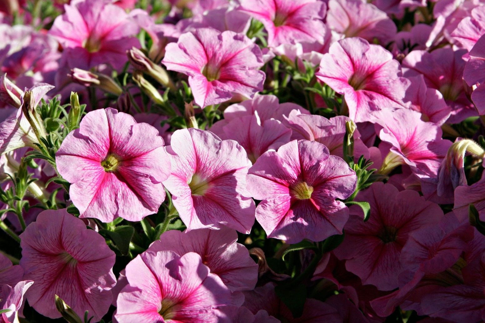 17 Quick Tips For Petunia Flower Meaning In Telugu In 2020 Petunia Plant Petunia Flower Petunias