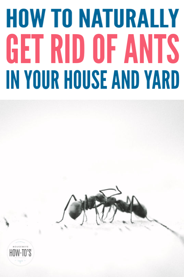 How To Get Rid Of Ants Naturally Get Rid Of Ants Rid Of Ants