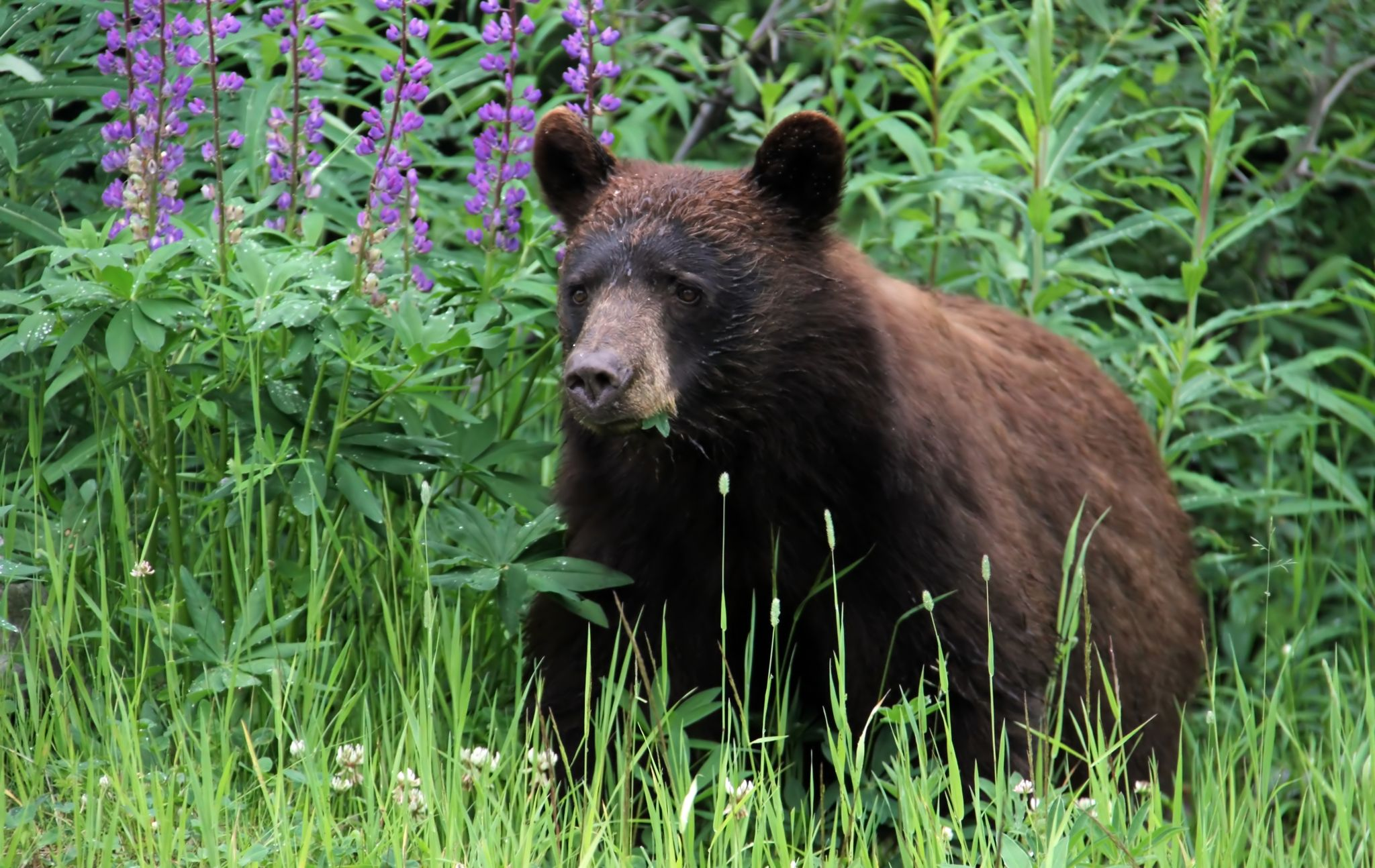 Safety tips for campers: wildlife: Black Bear A black bear in the wilderness of Canada eating green leaves.