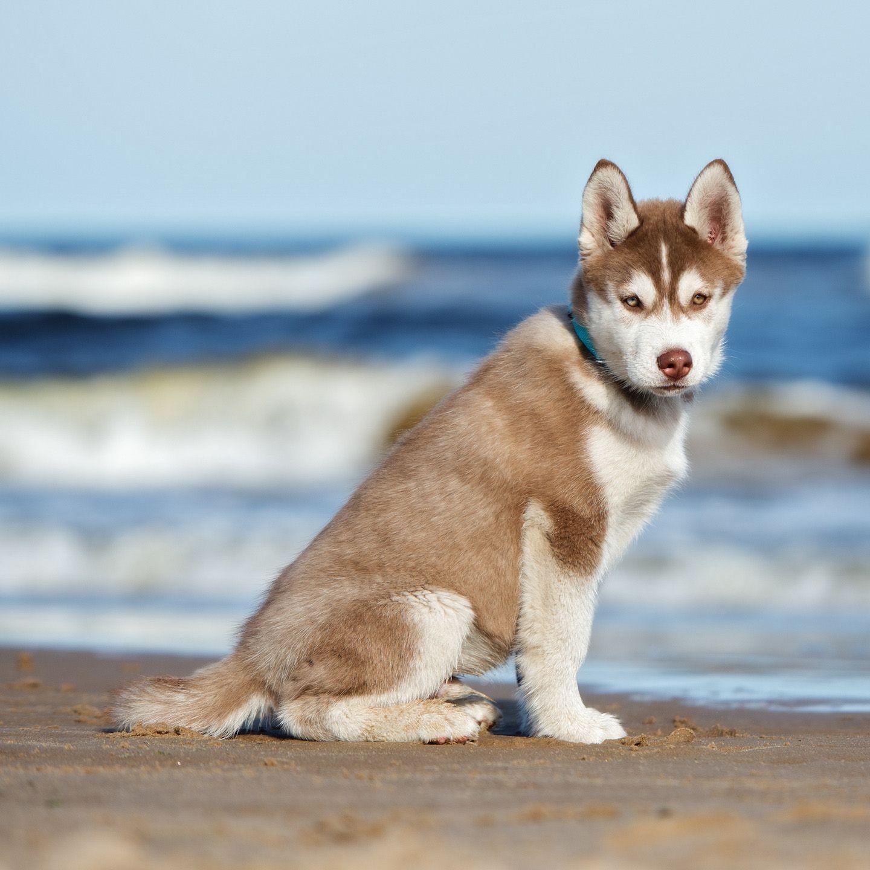 Siberian Husky Puppy By Sea Shore Husky Puppy Husky Alaskan Husky