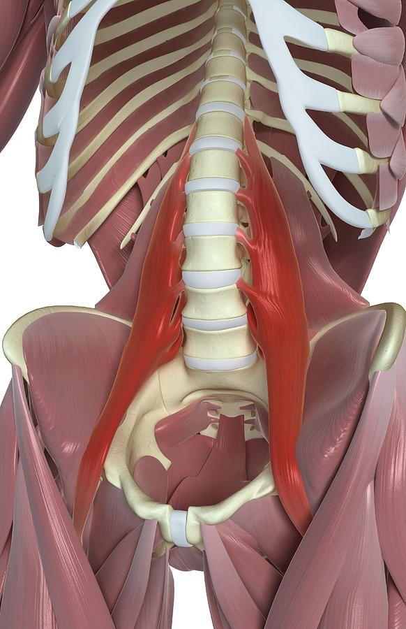 Psoas Major Canvas Print / Canvas Art by MedicalRF.com | Anatomía ...