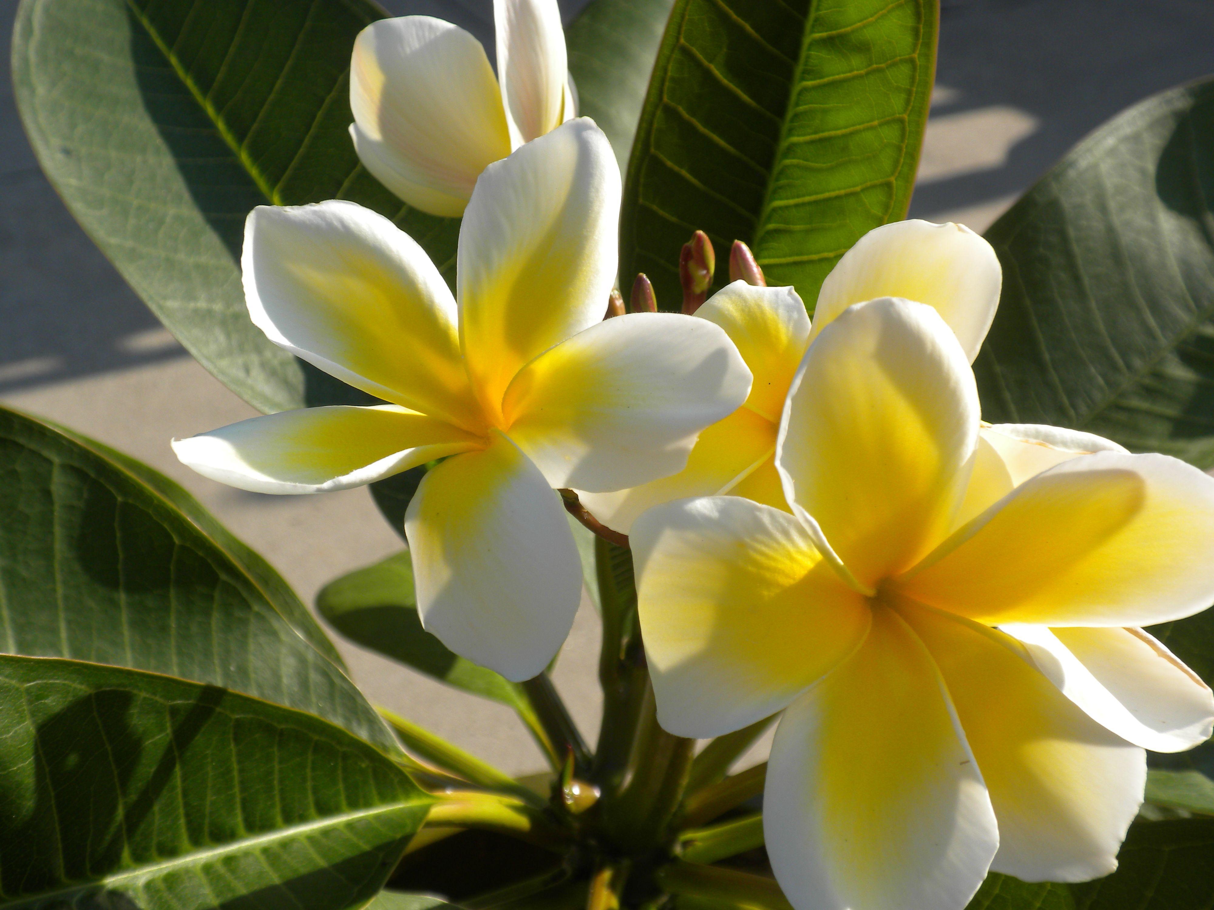 My Plumeria Hawaiian Flower Grew In Ohio Plumeria Pinterest