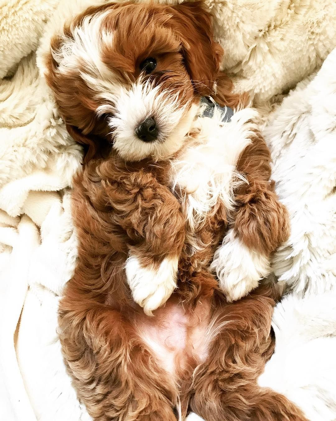 When You Eat That Second Slice Of Cheese Pizza And You Re Wondering If Bae Still Loves You Pizzaislife Puppiesofin Cavapoo Puppies Cavapoo Maltipoo Puppy