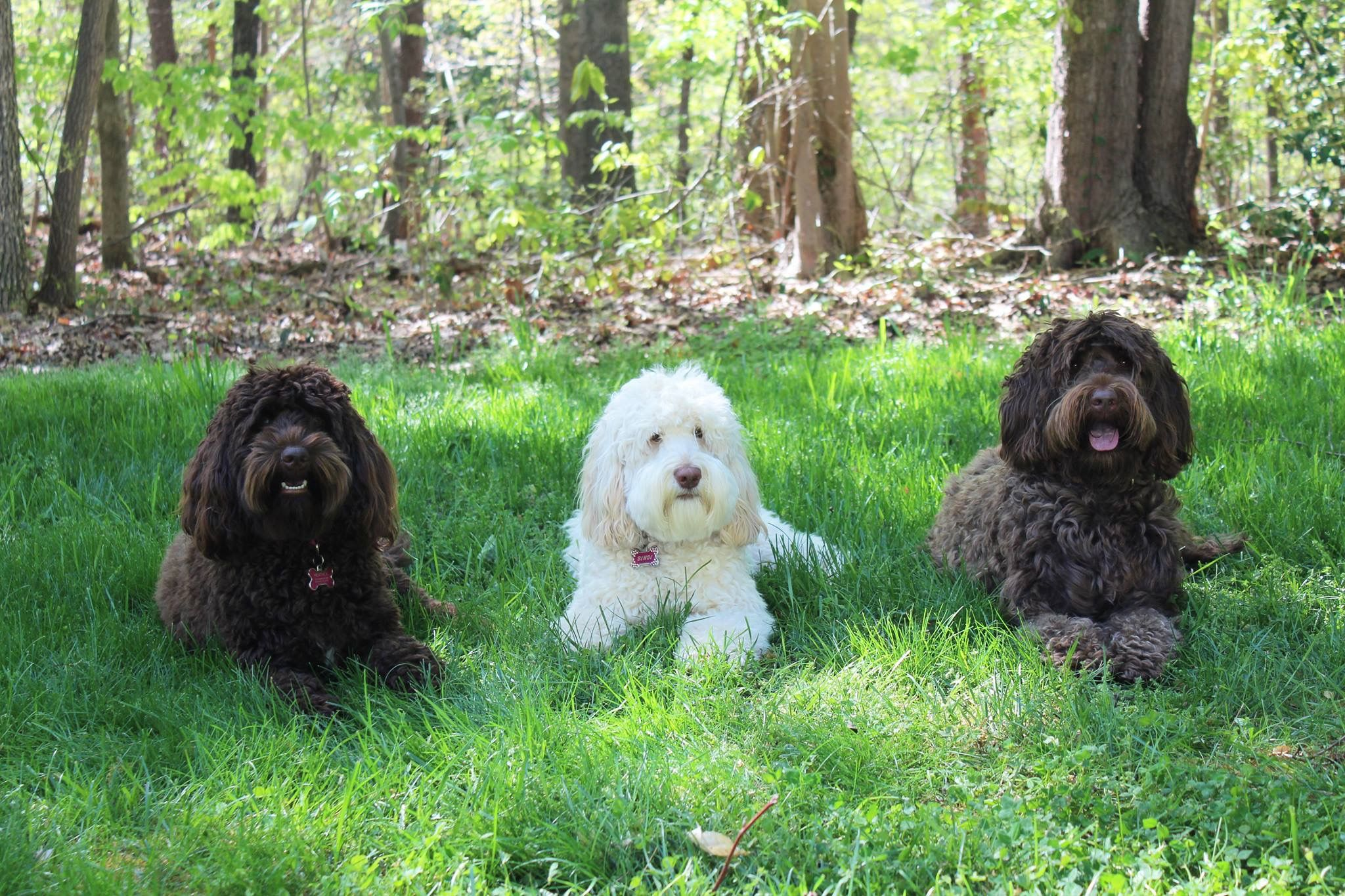 Goldendoodle puppies in Troutman NC Goldendoodle