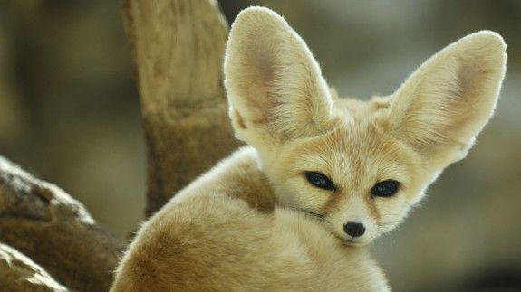 beautiful-wildlife | Kit fox, Fox, Animals beautiful