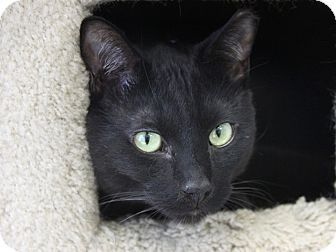 Hawthorne, CA - Domestic Shorthair. Meet Fiddle, a cat for adoption. http://www.adoptapet.com/pet/12762949-hawthorne-california-cat